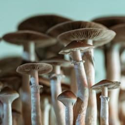 Why is Mushroom Tea a Great Healthy Alternative?